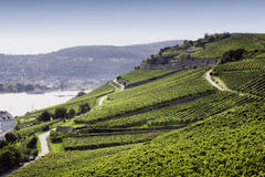 Rheingau Riesling Vineyards Royalty Free Stock Image