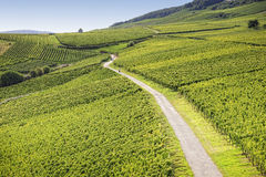 Rheingau Riesling Vineyards Stock Photography