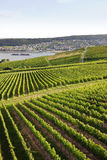 Rheingau Riesling Vineyards Stock Photo
