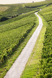 Rheingau Riesling Vineyards Stock Images