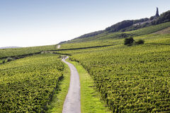Rheingau Riesling Vineyards Royalty Free Stock Images