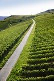 Rheingau Riesling Vineyards royalty free stock photo