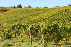 Rheingau vineyards Royalty Free Stock Photo