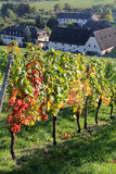 Rheingau vineyards. In autumn, Hesse, Germany royalty free stock images