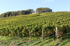 Rheingau vineyards Royalty Free Stock Images