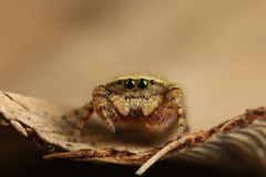 Rhene Flavigera Jumping Spider Royalty Free Stock Photography