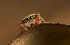 Rhene Flavigera Jumping Spider Stock Photos