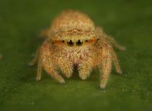Rhene Skokowy pająk Zdjęcia Stock