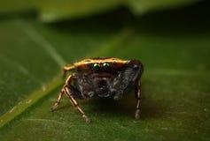 Rhene Skokowy pająk Obrazy Stock
