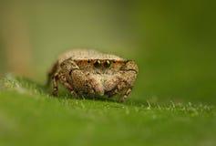 Rhene Skokowy pająk Obraz Stock
