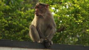 Rhesis małpy łasowanie na ścianie w India zdjęcie wideo