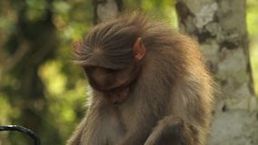 Rhesis małpy łasowanie w Indiańskim lesie zbiory