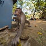 Rhesus małpa je od grata w ind fotografia stock