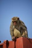 Rhesus małpa Obrazy Stock