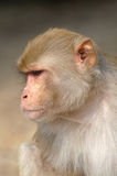 Rhesus macaque Stock Image