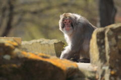 Rhesus macaque Royalty Free Stock Images