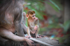 The Rhesus macaque Royalty Free Stock Photos