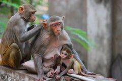 The Rhesus macaque Royalty Free Stock Photography