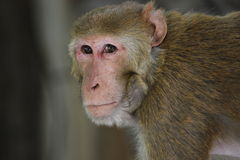 The Rhesus macaque Stock Photos
