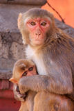 Rhesus macaque with a baby sitting on a wall in Jaipur, Rajastha Stock Image