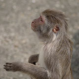 Rhesus macaque in close-up during natural behavior Stock Images