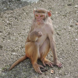 Rhesus macaque in close-up during natural behavior Royalty Free Stock Photos