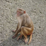 Rhesus macaque in close-up during natural behavior Stock Photo