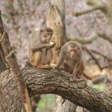 Rhesus macaque in close-up during natural behavior Stock Photos
