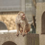 Rhesus macaque in close-up during natural behavior Royalty Free Stock Photography