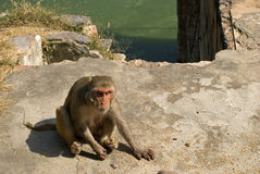 Rhesus macaque, Deeg, Rajasthan, India Stock Photography