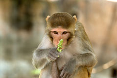 Rhesus macaque, Deeg, Rajasthan, India Royalty Free Stock Photos