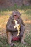 Rhesus Macaque eating banana at Tughlaqabad Fort, Delhi, India Stock Photos