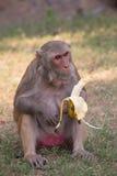 Rhesus Macaque eating banana at Tughlaqabad Fort, Delhi, India Royalty Free Stock Photos