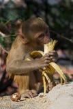 Rhesus macaque eating a banana Stock Photos
