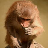 Rhesus macaque eating crab Stock Images