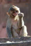 Rhesus macaque eating Royalty Free Stock Photos