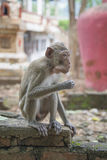 A rhesus macaque eats Stock Photography