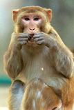 Rhesus macaque Royalty Free Stock Photos