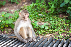 Rhesus Macaque, Hong Kong Royalty Free Stock Photography