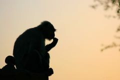 Rhesus macaque in India Stock Image