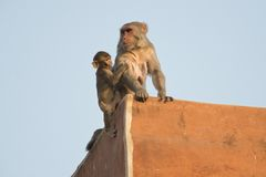 Rhesus Macaque and its Cub Royalty Free Stock Photos