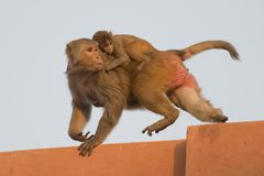 Rhesus Macaque and its Cub Royalty Free Stock Images