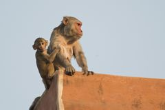 Rhesus Macaque and its Cub Stock Images