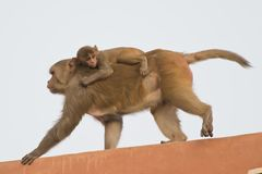 Rhesus Macaque and its Cub Stock Image