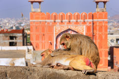 Rhesus macaque laying on a wall near Suraj Pol in Jaipur, Rajast Stock Photo