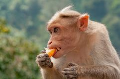 Rhesus macaque with long canines biting into a tangerine segment in Kerala India. These macaques were everywhere, and they loved their citrussy treats royalty free stock photography