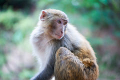 Rhesus macaque looking back in Xichang forest Stock Images