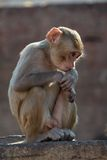 Rhesus macaque looking down Stock Photo