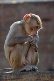 Rhesus macaque looking down Stock Photo