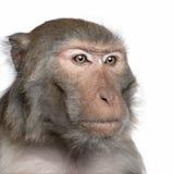 Rhesus Macaque - Macaca mulatta Stock Photos